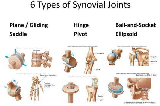 physiology the skeletal system. Black Bedroom Furniture Sets. Home Design Ideas